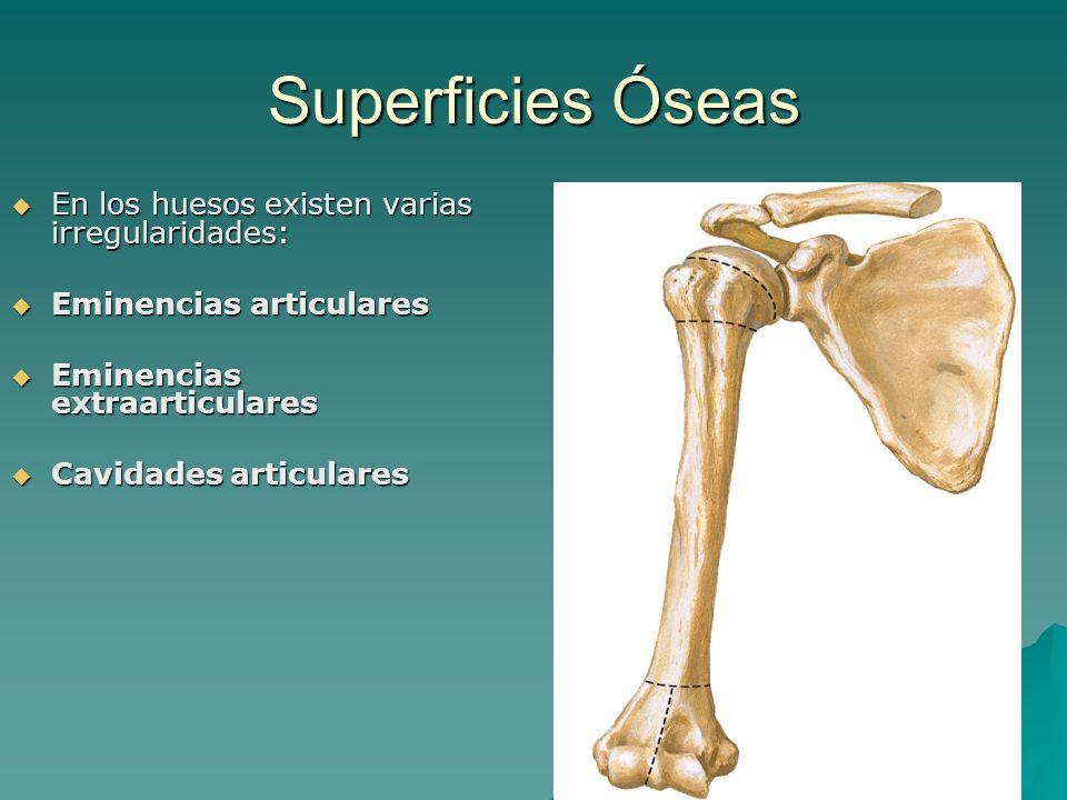 Superficies Óseas En los huesos existen varias irregularidades: En los huesos existen varias irregularidades: Eminencias articulares Eminencias articu