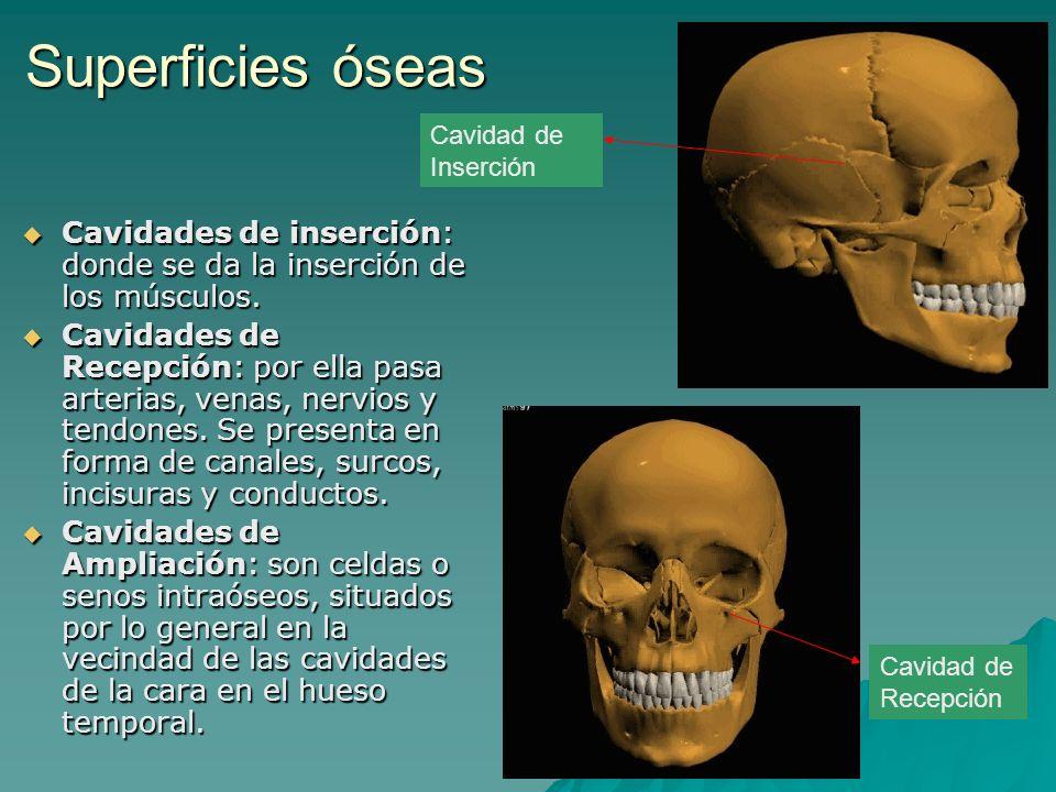 Superficies óseas Cavidades de inserción: donde se da la inserción de los músculos. Cavidades de inserción: donde se da la inserción de los músculos.