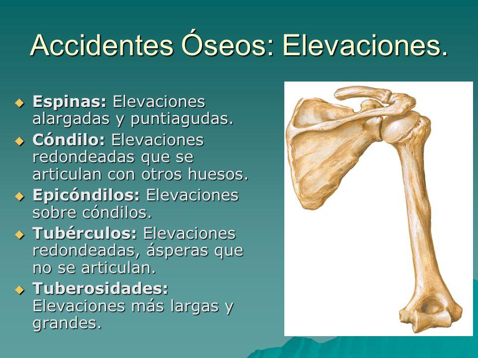 Accidentes Óseos: Elevaciones. Espinas: Elevaciones alargadas y puntiagudas. Espinas: Elevaciones alargadas y puntiagudas. Cóndilo: Elevaciones redond