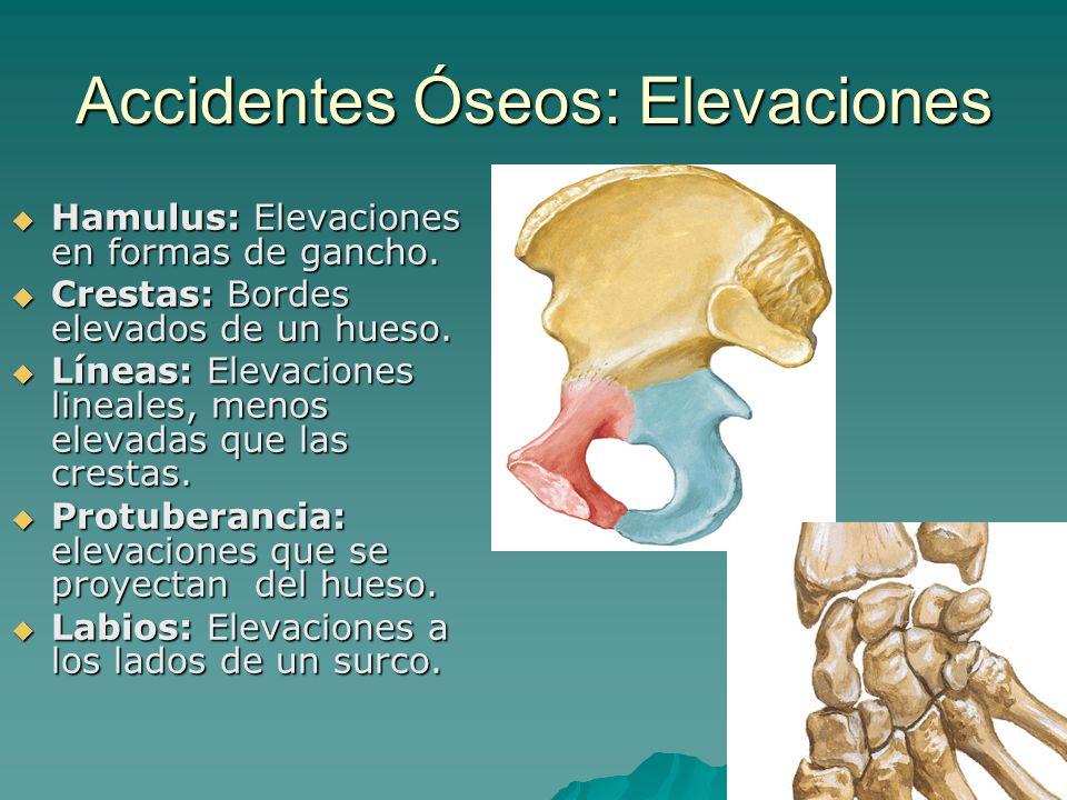 Accidentes Óseos: Elevaciones Hamulus: Elevaciones en formas de gancho. Hamulus: Elevaciones en formas de gancho. Crestas: Bordes elevados de un hueso