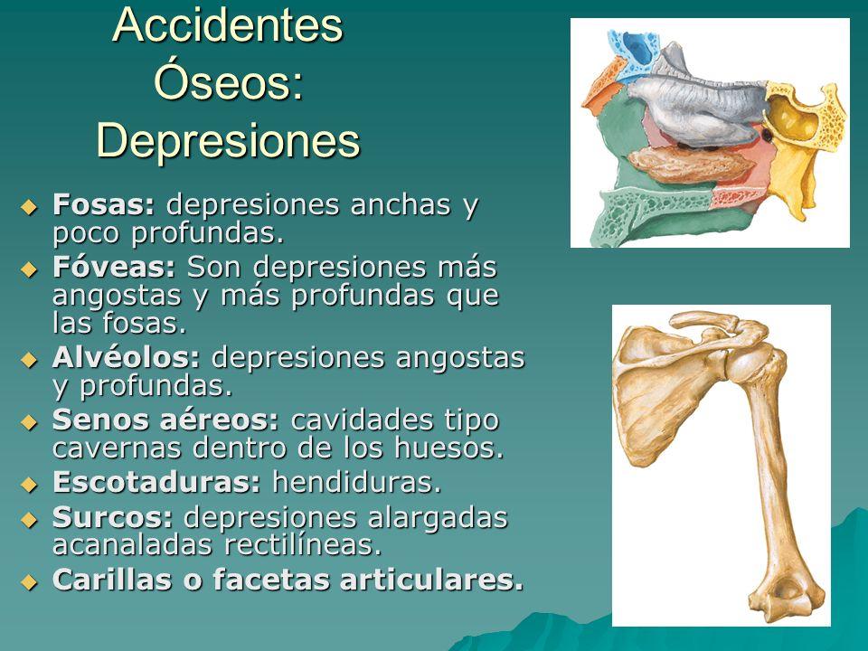 Accidentes Óseos: Depresiones Fosas: depresiones anchas y poco profundas. Fosas: depresiones anchas y poco profundas. Fóveas: Son depresiones más ango