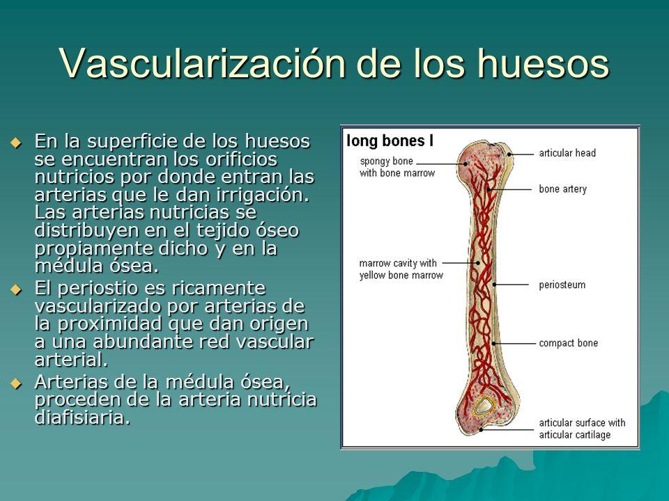 Vascularización de los huesos En la superficie de los huesos se encuentran los orificios nutricios por donde entran las arterias que le dan irrigación