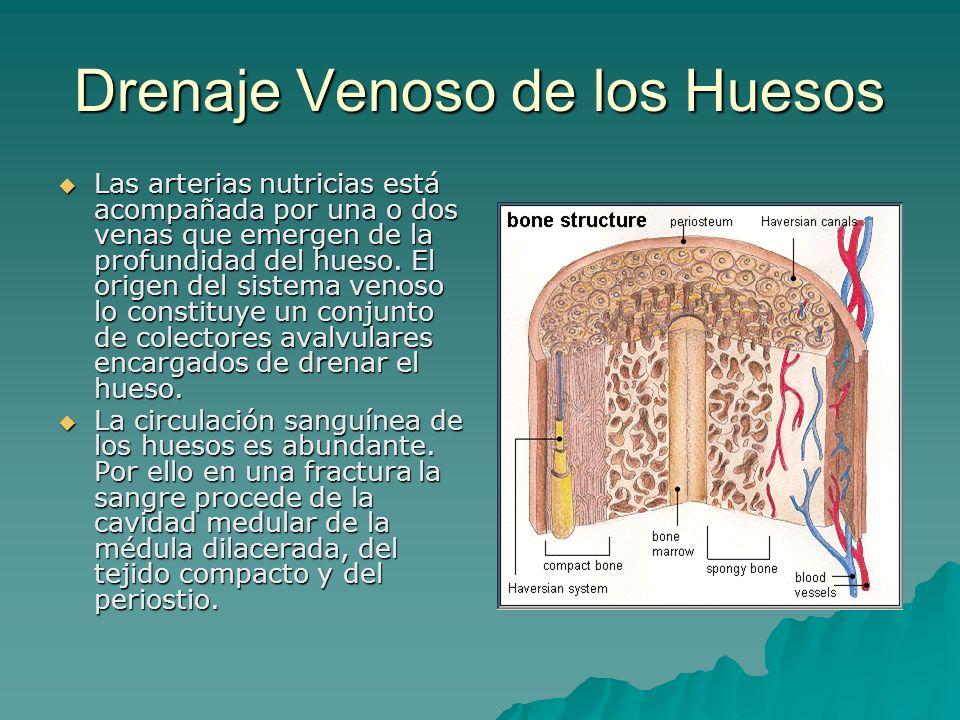 Drenaje Venoso de los Huesos Las arterias nutricias está acompañada por una o dos venas que emergen de la profundidad del hueso. El origen del sistema
