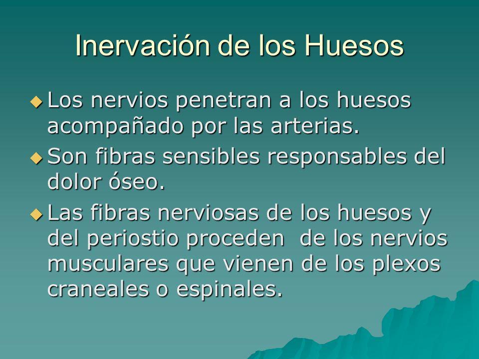 Inervación de los Huesos Los nervios penetran a los huesos acompañado por las arterias. Los nervios penetran a los huesos acompañado por las arterias.