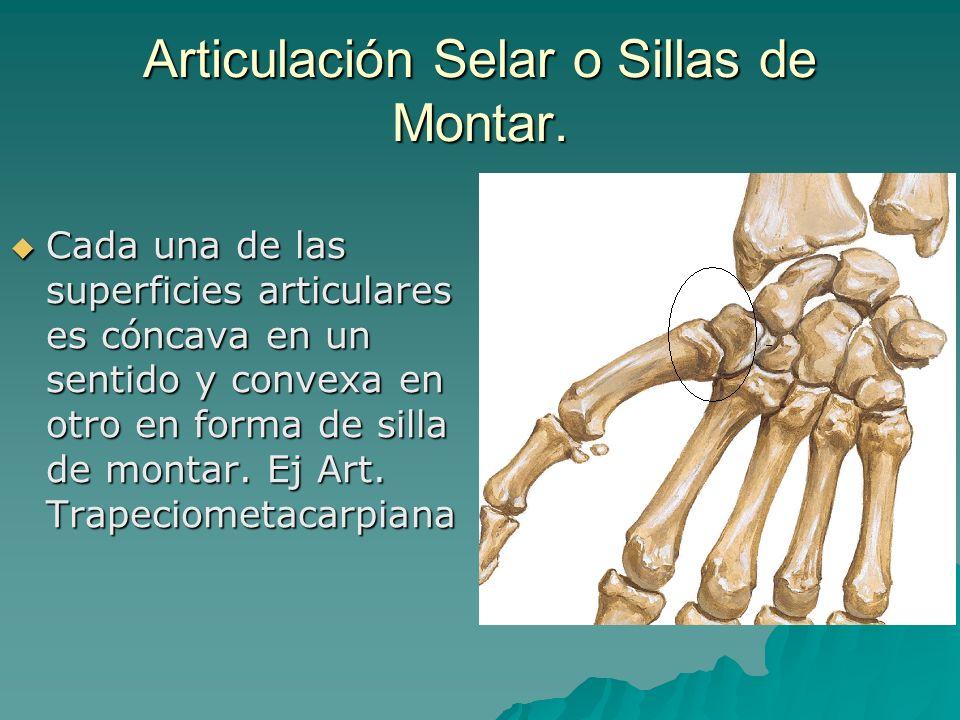 Articulación Selar o Sillas de Montar. Cada una de las superficies articulares es cóncava en un sentido y convexa en otro en forma de silla de montar.