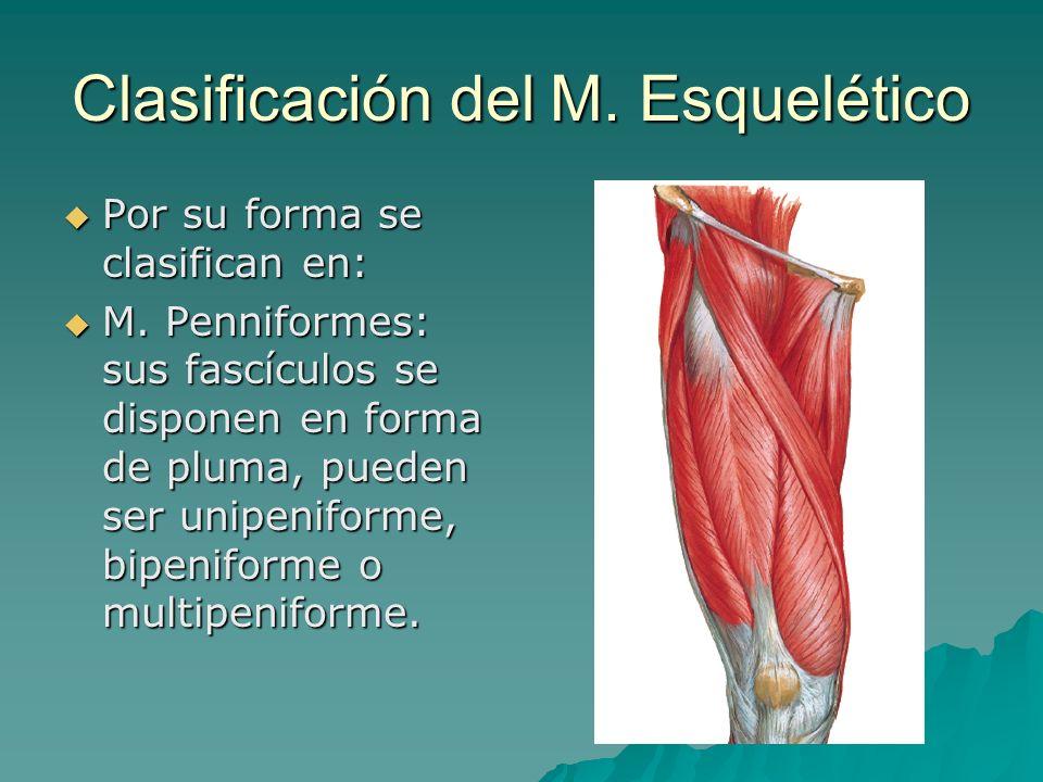 Clasificación del M. Esquelético Por su forma se clasifican en: Por su forma se clasifican en: M. Penniformes: sus fascículos se disponen en forma de