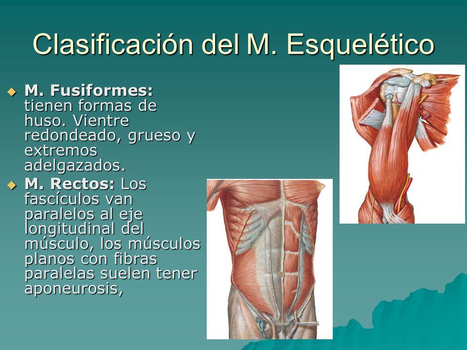 Clasificación del M. Esquelético M. Fusiformes: tienen formas de huso. Vientre redondeado, grueso y extremos adelgazados. M. Fusiformes: tienen formas