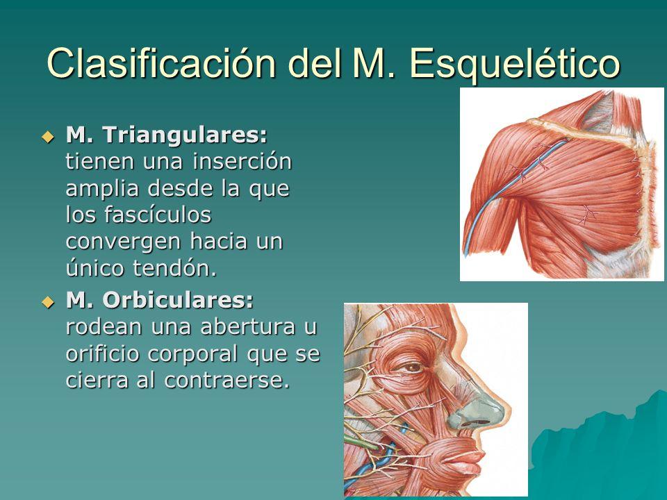 Clasificación del M. Esquelético M. Triangulares: tienen una inserción amplia desde la que los fascículos convergen hacia un único tendón. M. Triangul