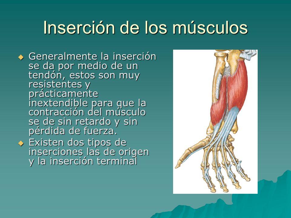 Inserción de los músculos Generalmente la inserción se da por medio de un tendón, estos son muy resistentes y prácticamente inextendible para que la c