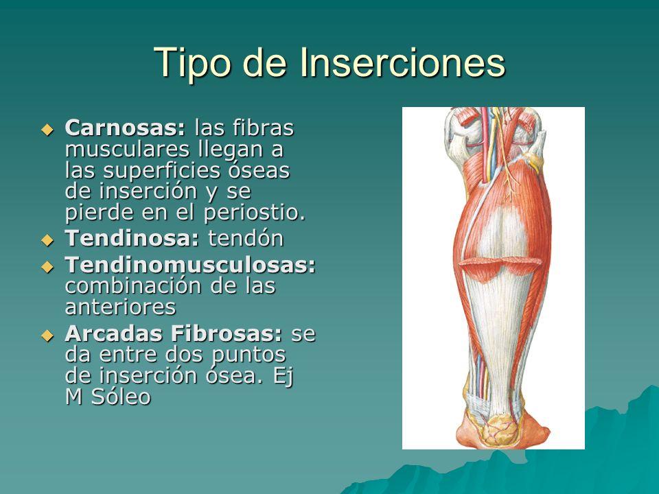 Tipo de Inserciones Carnosas: las fibras musculares llegan a las superficies óseas de inserción y se pierde en el periostio. Carnosas: las fibras musc