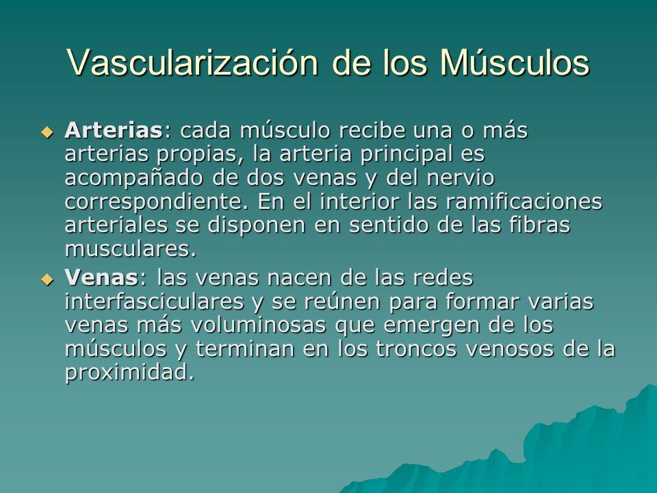 Vascularización de los Músculos Arterias: cada músculo recibe una o más arterias propias, la arteria principal es acompañado de dos venas y del nervio