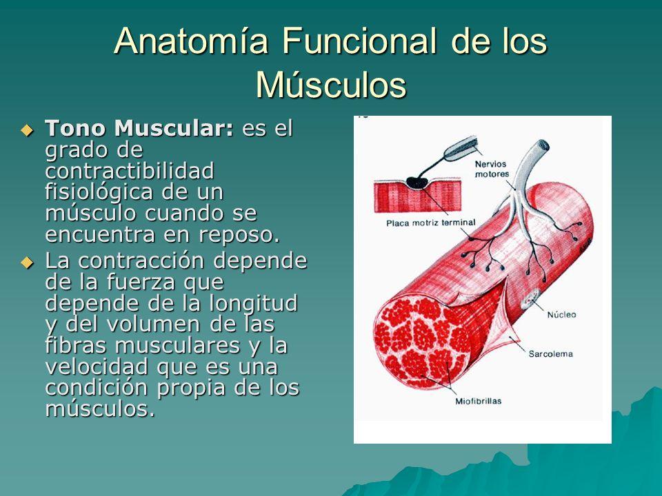 Anatomía Funcional de los Músculos Tono Muscular: es el grado de contractibilidad fisiológica de un músculo cuando se encuentra en reposo. Tono Muscul