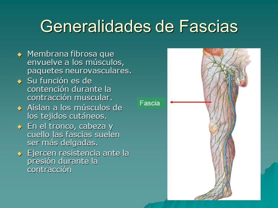 Generalidades de Fascias Membrana fibrosa que envuelve a los músculos, paquetes neurovasculares. Membrana fibrosa que envuelve a los músculos, paquete