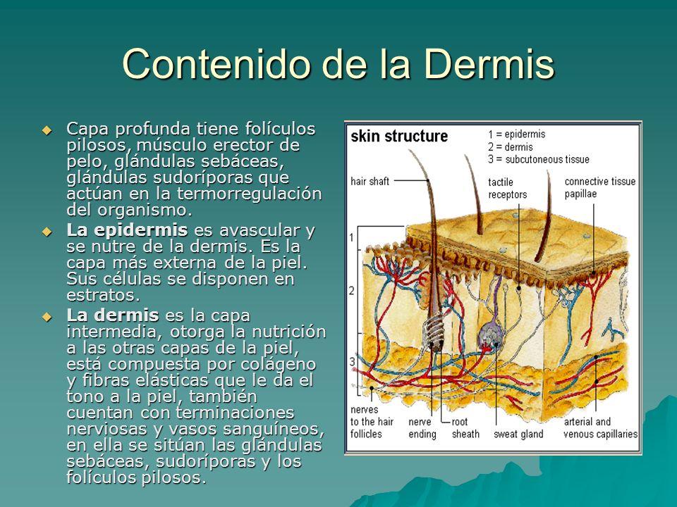 Contenido de la Dermis Capa profunda tiene folículos pilosos, músculo erector de pelo, glándulas sebáceas, glándulas sudoríporas que actúan en la term