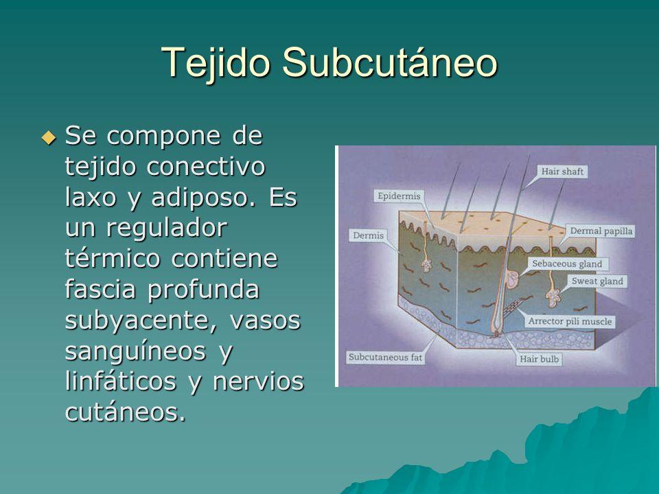 Tejido Subcutáneo Se compone de tejido conectivo laxo y adiposo. Es un regulador térmico contiene fascia profunda subyacente, vasos sanguíneos y linfá