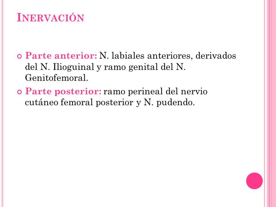 I NERVACIÓN Parte anterior: N. labiales anteriores, derivados del N. Ilioguinal y ramo genital del N. Genitofemoral. Parte posterior: ramo perineal de