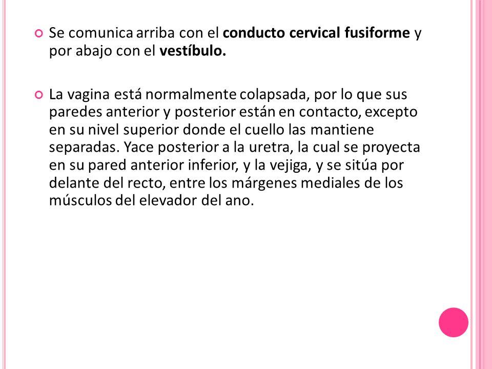 Se comunica arriba con el conducto cervical fusiforme y por abajo con el vestíbulo. La vagina está normalmente colapsada, por lo que sus paredes anter