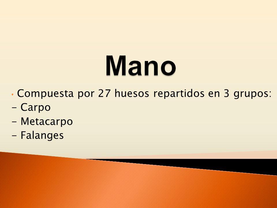 Compuesta por 27 huesos repartidos en 3 grupos: - Carpo - Metacarpo - Falanges