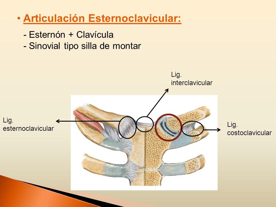 Articulación Esternoclavicular: - Esternón + Clavícula - Sinovial tipo silla de montar Lig. esternoclavicular Lig. interclavicular Lig. costoclavicula
