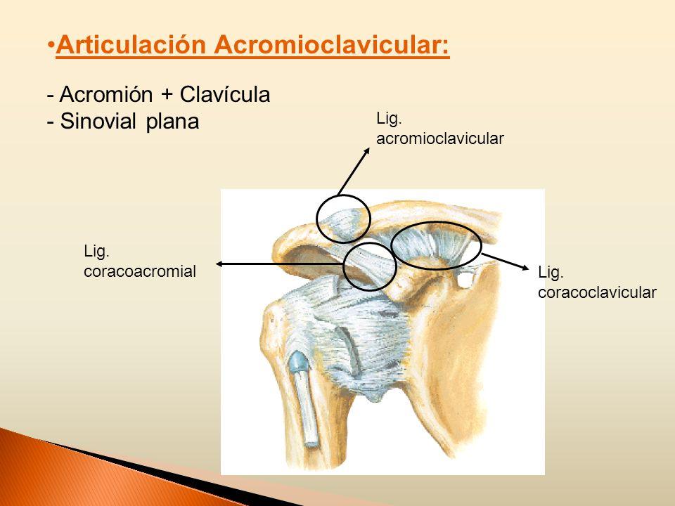 Articulación Acromioclavicular: - Acromión + Clavícula - Sinovial plana Lig. acromioclavicular Lig. coracoclavicular Lig. coracoacromial