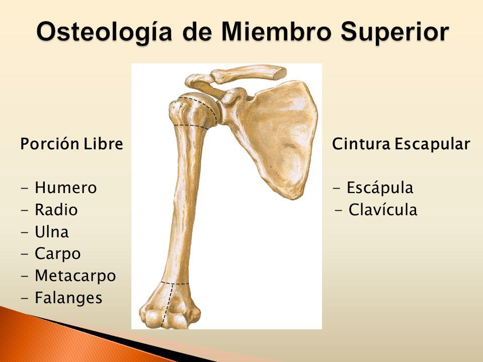 Porción Libre Cintura Escapular - Humero - Escápula - Radio - Clavícula - Ulna - Carpo - Metacarpo - Falanges