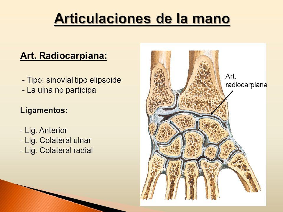 Art. Radiocarpiana: - Tipo: sinovial tipo elipsoide - La ulna no participa Ligamentos: - Lig. Anterior - Lig. Colateral ulnar - Lig. Colateral radial
