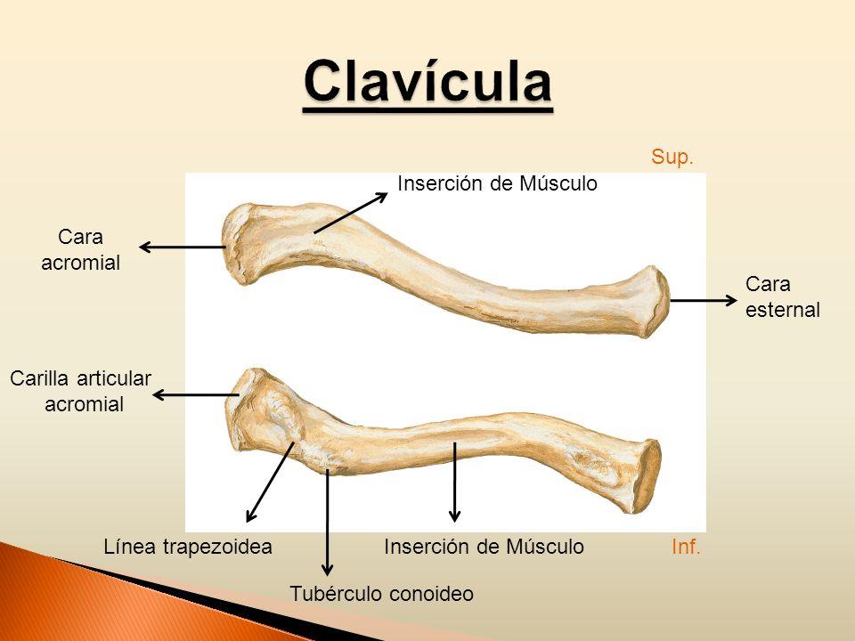 Cara acromial Inserción de Músculo Cara esternal Línea trapezoidea Carilla articular acromial Tubérculo conoideo Sup. Inf.