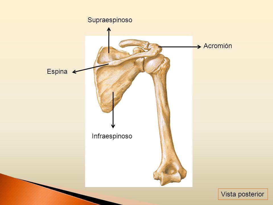 Supraespinoso Acromión Infraespinoso Espina Vista posterior