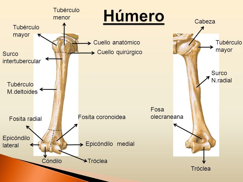 Tubérculo mayor Tubérculo menor Cuello anatómico Cuello quirúrgico Surco intertubercular Tubérculo M.deltoides Fosita radial Epicóndilo lateral Fosita