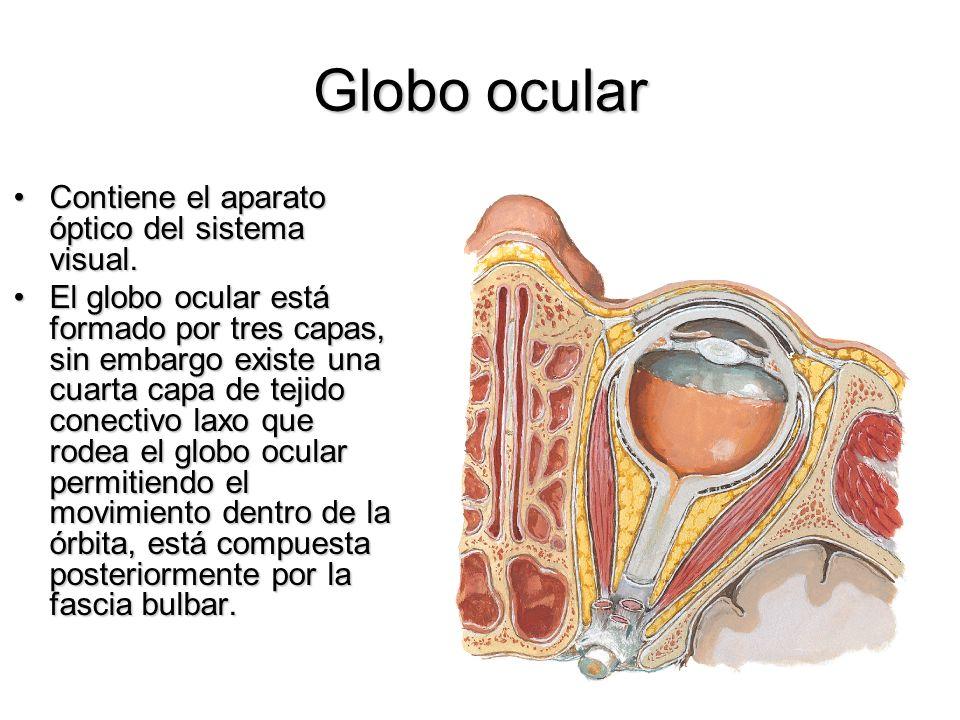 Globo ocular Contiene el aparato óptico del sistema visual.Contiene el aparato óptico del sistema visual. El globo ocular está formado por tres capas,