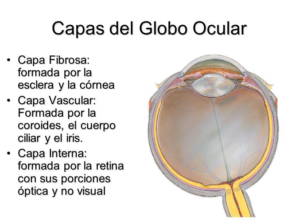 Capas del Globo Ocular Capa Fibrosa: formada por la esclera y la córneaCapa Fibrosa: formada por la esclera y la córnea Capa Vascular: Formada por la