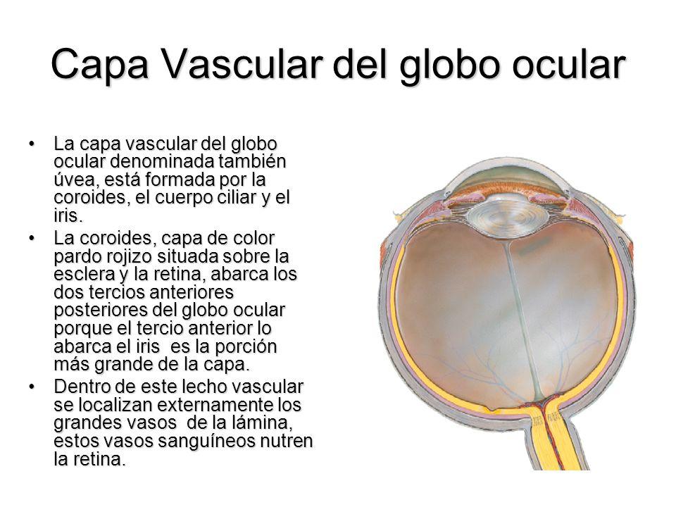 Capa Vascular del globo ocular La capa vascular del globo ocular denominada también úvea, está formada por la coroides, el cuerpo ciliar y el iris.La