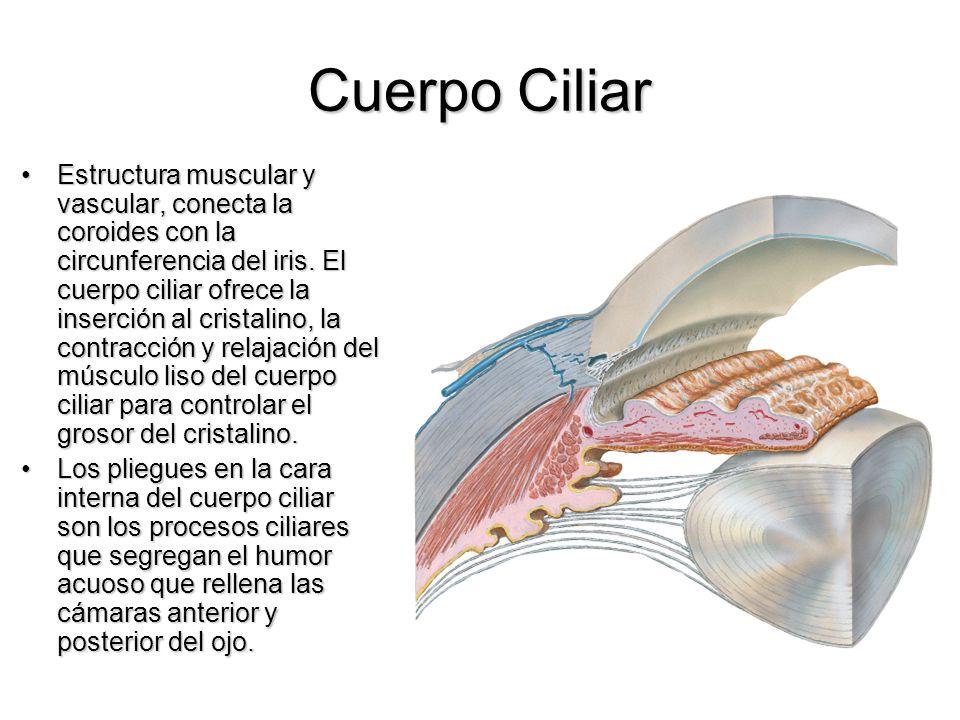 Cuerpo Ciliar Estructura muscular y vascular, conecta la coroides con la circunferencia del iris. El cuerpo ciliar ofrece la inserción al cristalino,