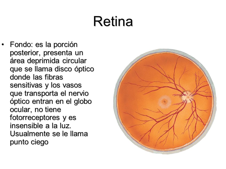 Retina Fondo: es la porción posterior, presenta un área deprimida circular que se llama disco óptico donde las fibras sensitivas y los vasos que trans