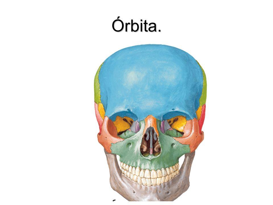 Lámina Fascial del globo ocular Cápsula que envuelve el globo ocular desde el nervio óptico hasta cerca de la unión corneoescleral.Cápsula que envuelve el globo ocular desde el nervio óptico hasta cerca de la unión corneoescleral.