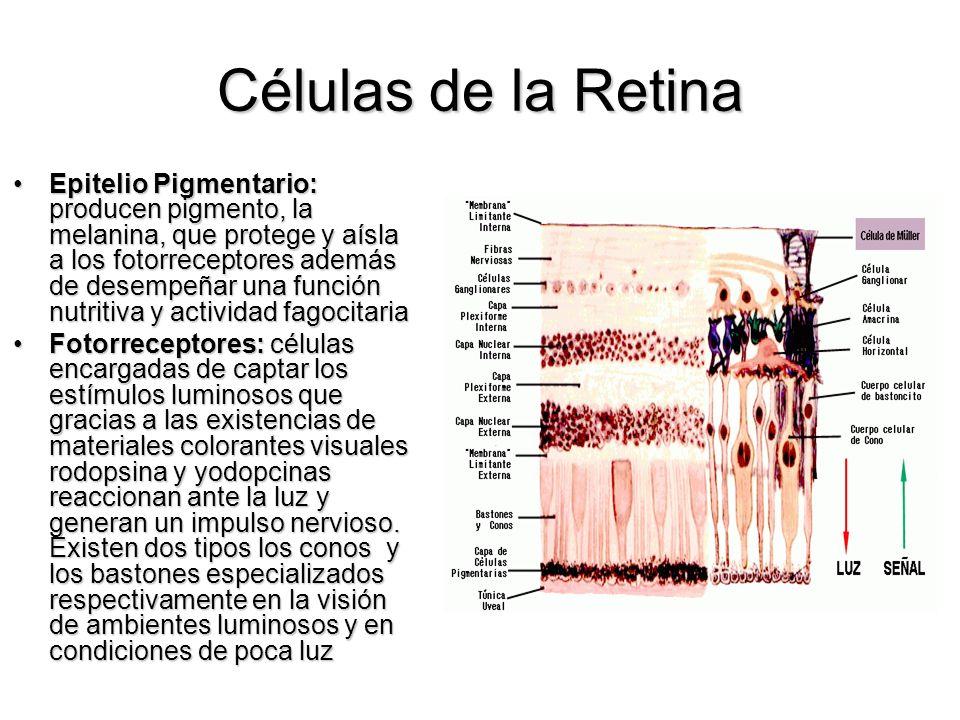 Células de la Retina Epitelio Pigmentario: producen pigmento, la melanina, que protege y aísla a los fotorreceptores además de desempeñar una función