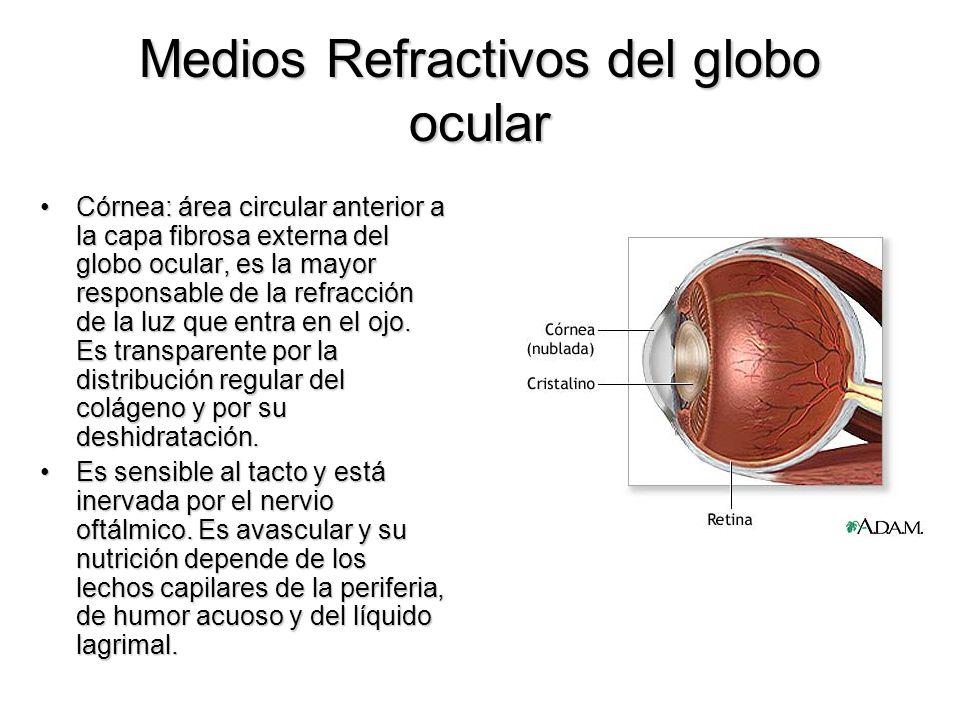 Medios Refractivos del globo ocular Córnea: área circular anterior a la capa fibrosa externa del globo ocular, es la mayor responsable de la refracció