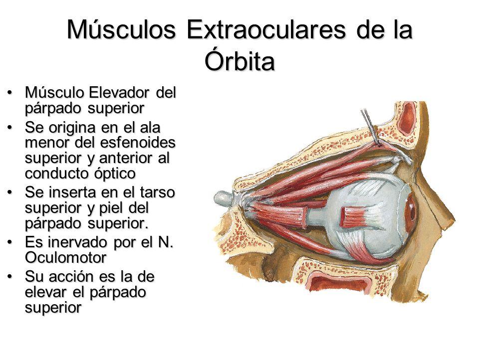 Músculos Extraoculares de la Órbita Músculo Elevador del párpado superiorMúsculo Elevador del párpado superior Se origina en el ala menor del esfenoid