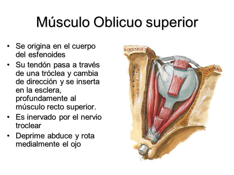 Músculo Oblicuo superior Se origina en el cuerpo del esfenoidesSe origina en el cuerpo del esfenoides Su tendón pasa a través de una tróclea y cambia
