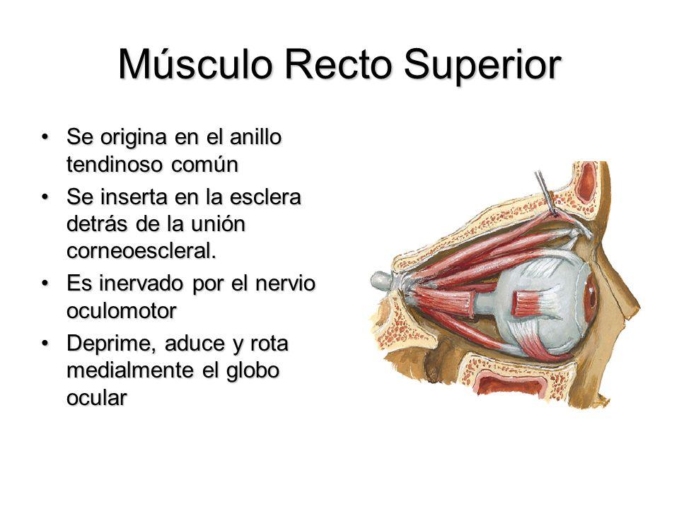 Músculo Recto Superior Se origina en el anillo tendinoso comúnSe origina en el anillo tendinoso común Se inserta en la esclera detrás de la unión corn