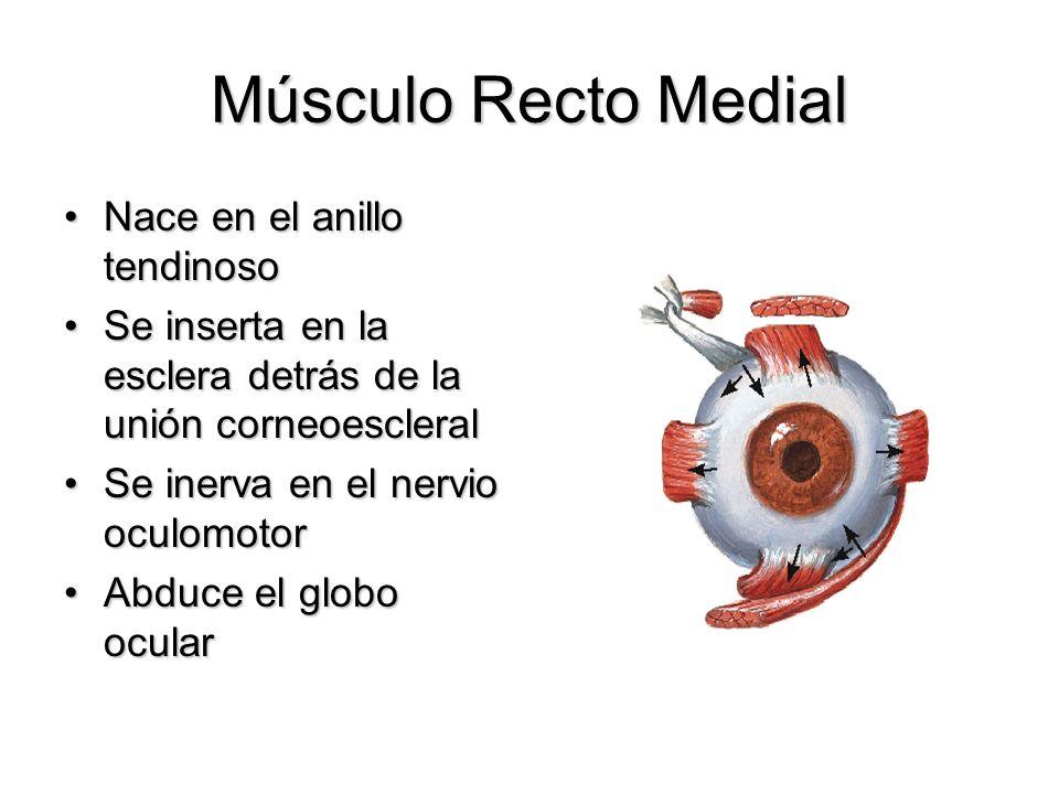 Músculo Recto Medial Nace en el anillo tendinosoNace en el anillo tendinoso Se inserta en la esclera detrás de la unión corneoescleralSe inserta en la