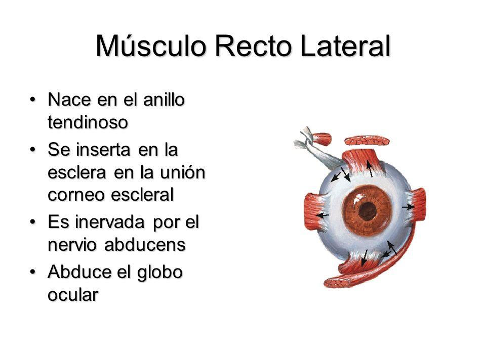 Músculo Recto Lateral Nace en el anillo tendinosoNace en el anillo tendinoso Se inserta en la esclera en la unión corneo escleralSe inserta en la escl