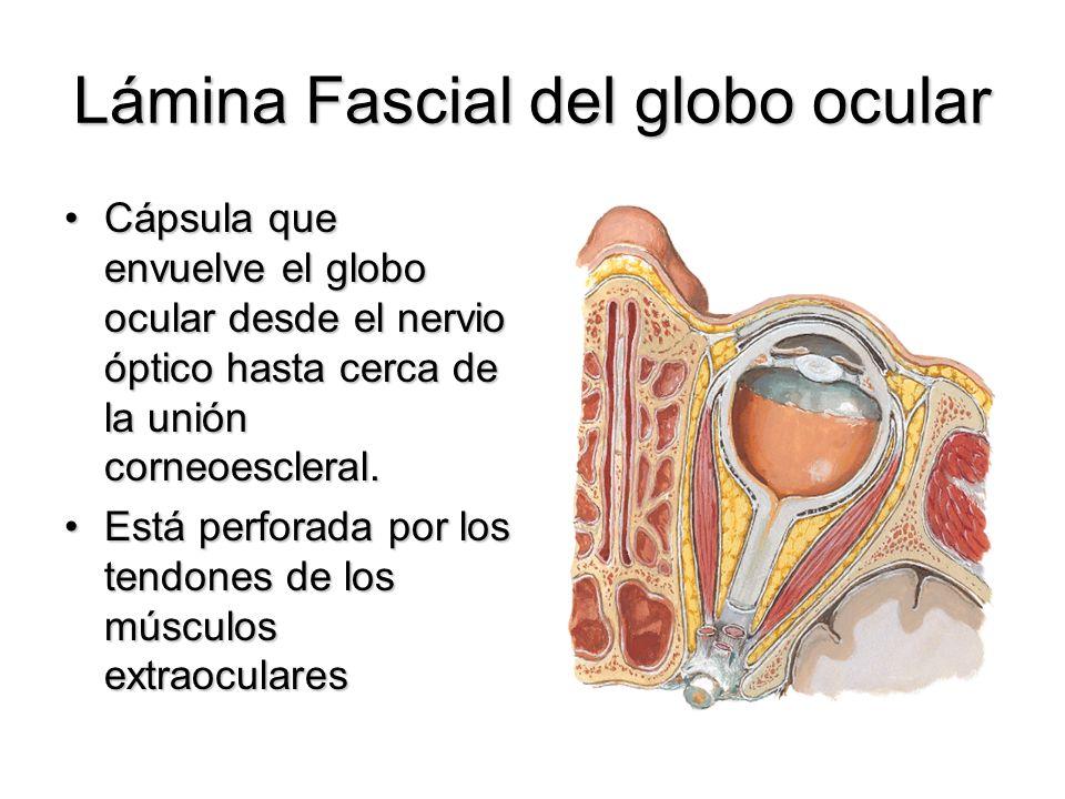Lámina Fascial del globo ocular Cápsula que envuelve el globo ocular desde el nervio óptico hasta cerca de la unión corneoescleral.Cápsula que envuelv
