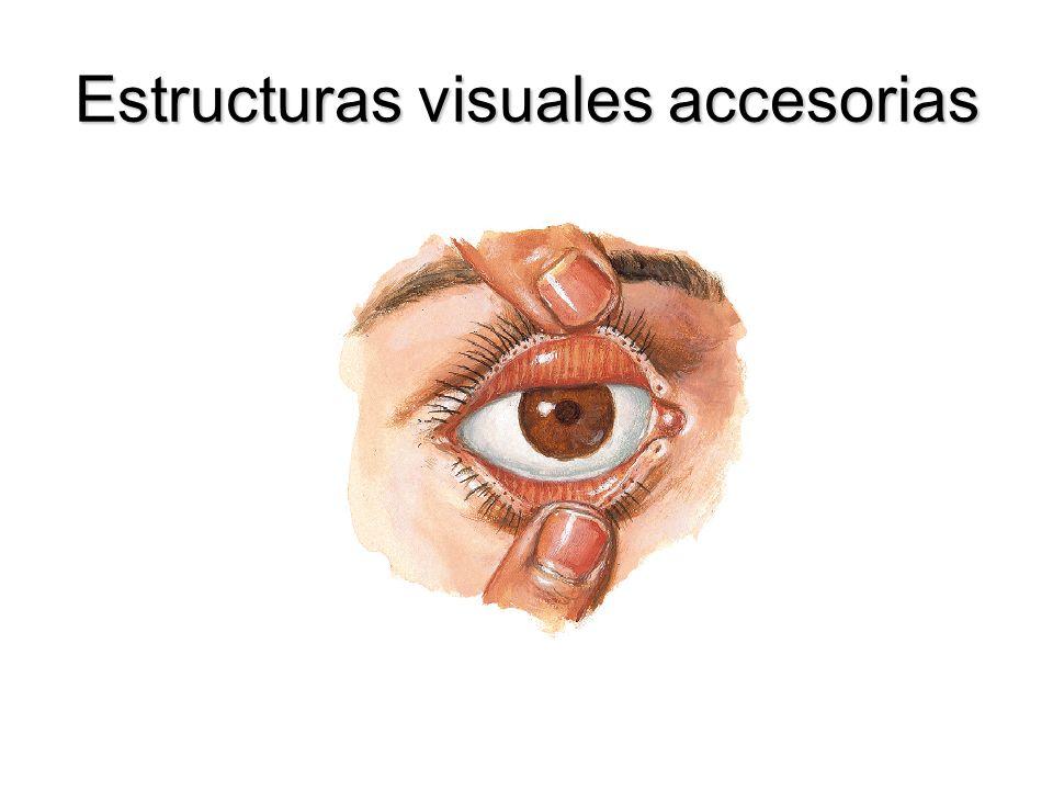 Conductos semicirculares Anterior, posterior y lateral, comunican el vestíbulo del laberinto óseo.