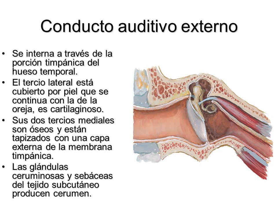 Conducto auditivo externo Se interna a través de la porción timpánica del hueso temporal.Se interna a través de la porción timpánica del hueso tempora