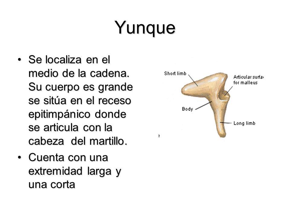 Yunque Se localiza en el medio de la cadena. Su cuerpo es grande se sitúa en el receso epitimpánico donde se articula con la cabeza del martillo.Se lo