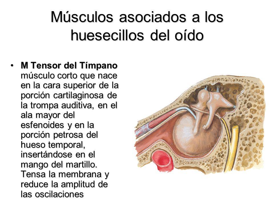 Músculos asociados a los huesecillos del oído M Tensor del Tímpano músculo corto que nace en la cara superior de la porción cartilaginosa de la trompa