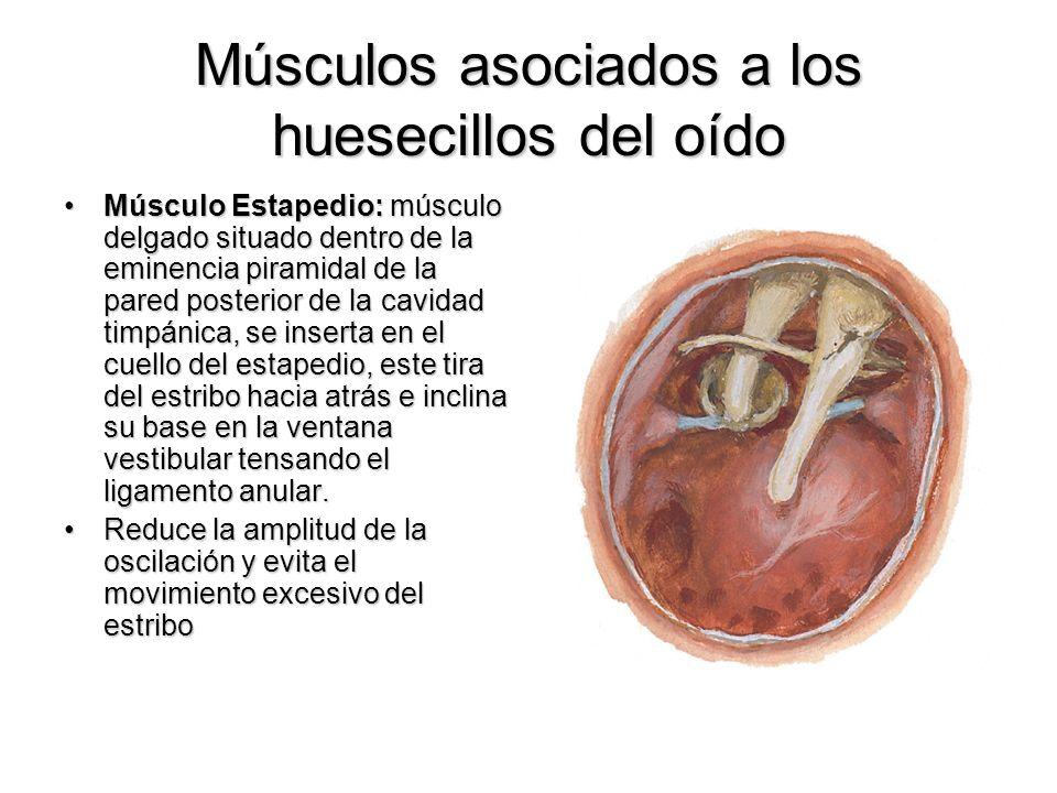 Músculos asociados a los huesecillos del oído Músculo Estapedio: músculo delgado situado dentro de la eminencia piramidal de la pared posterior de la