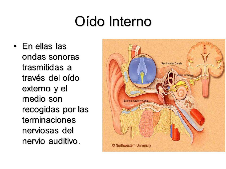 Oído Interno En ellas las ondas sonoras trasmitidas a través del oído externo y el medio son recogidas por las terminaciones nerviosas del nervio audi