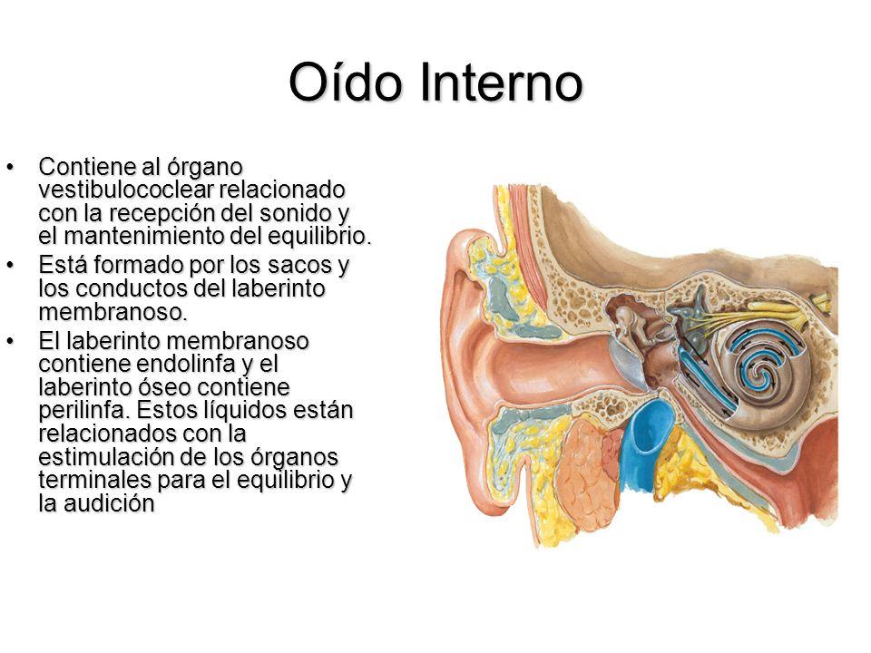 Oído Interno Contiene al órgano vestibulococlear relacionado con la recepción del sonido y el mantenimiento del equilibrio.Contiene al órgano vestibul